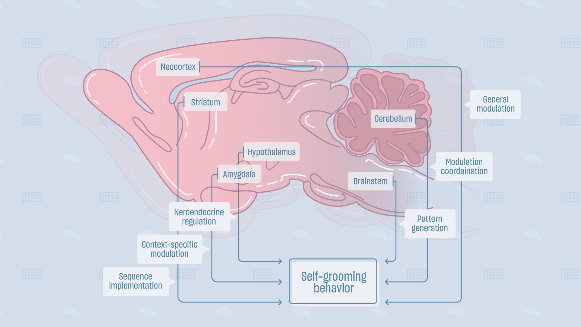 Self-Grooming-Behavior brain correlates