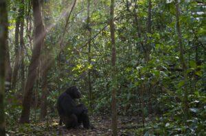 A chimpanzee watches the sunrise