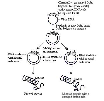 Steps in site-directed mutagenesis